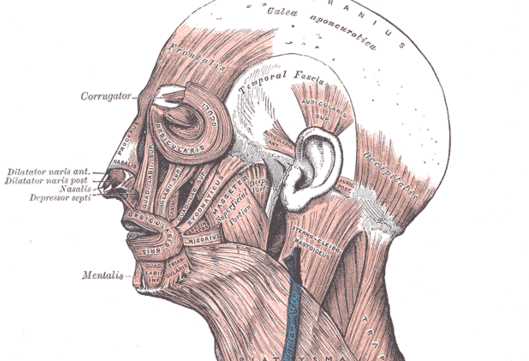 Illustration of the facial muscles from Gray's Anatomy