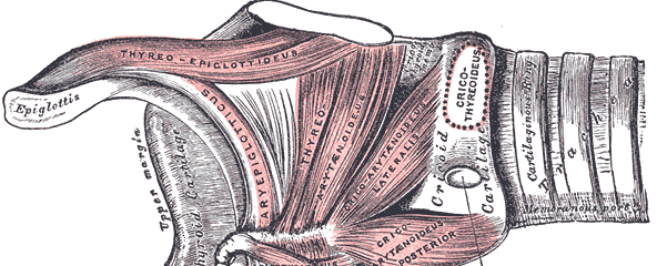 Illustration of the muscles of the larynx, from Gray's Anatomy